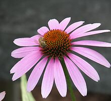 Pink Flower with bee by Stevesphotoz