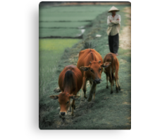 3 Cows Canvas Print