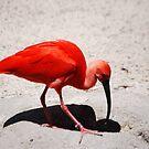 Scarlet Ibis by Anne Smyth