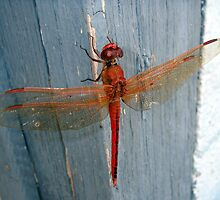 Red Dragonfly by Wanda  Mascari