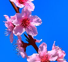 Peach Blossoms by Kalena Chappell