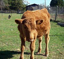 Cute Calf by Wanda  Mascari