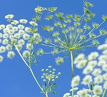 Queen Anne's Lace by metriognome