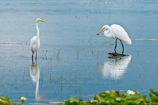Great Egrets by Michael Cummings