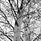 birches on the 'ol homestead by Troy Spencer