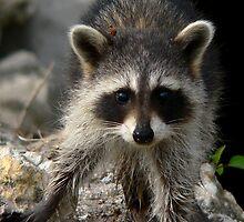 Baby Racoon    190 Views by Rosalie Scanlon