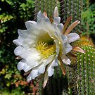 White Cactus Flower by Geoffrey Higges