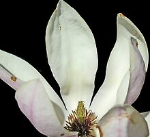 Magnolia Highlight by mwfoster