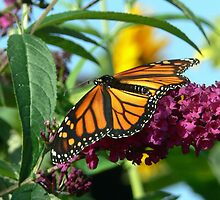 Fall Monarch Butterfly by LjMaxx