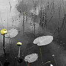 Lily Pads in Pond by Shane Shaw