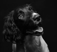 Working english springer spaniel by JH-Image