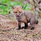 Fox Kit on Den - Ottawa, Ontario by Michael Cummings