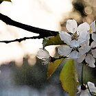 Spring Blossom by mikepom