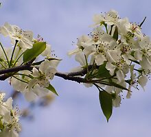 Pear Blossoms on a Buttermilk Sky by Bret