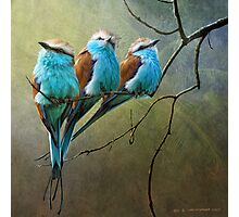 racquet tailed rollers- blue birds of africa Photographic Print