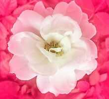 White Rose with Pink Leaves Around by DFLC Prints