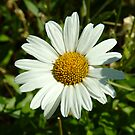 Daisy in the Sunshine by Merilyn