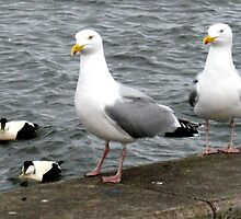 56 - GULLS ON PATROL (D.E. 2008) by BLYTHPHOTO