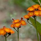 Orange Hawkweed by Michael Cummings