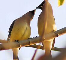 Cedar waxwings sharing by Lenny La Rue, IPA