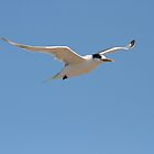 Crested Tern in Flight by Jade Welch