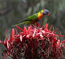 Rainbow Lorikeet & Gymea Lilly by Robert Elliott