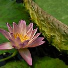 Water Lily at Kew by Vicky Hamilton