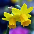 Two lone Daffodil&#x27;s by Jeffrey  Sinnock