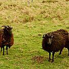 Feeling Sheepish by Ian Foss
