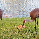 Sandhill Crane Family Dining by Carolyn Bishop