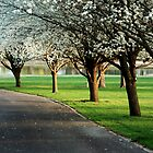Bradford pears in bloom by AndrewBlake