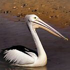 Pelican Portrait by wallarooimages