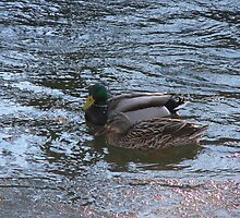 Mr. And Mrs. Mallard Snuggling by kevint