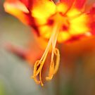 Flaming Lily by Claudia Dingle