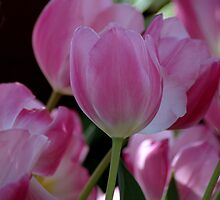 Pink Tulips by Kathleen Struckle