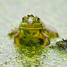 Pond Frogs by Michael Cummings