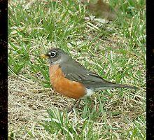 First Robin by Shannon Sadowski