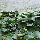 Lily Pads by FreezingPoint