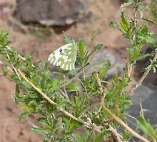 Butterfly in Grand Canyon by jackiewd