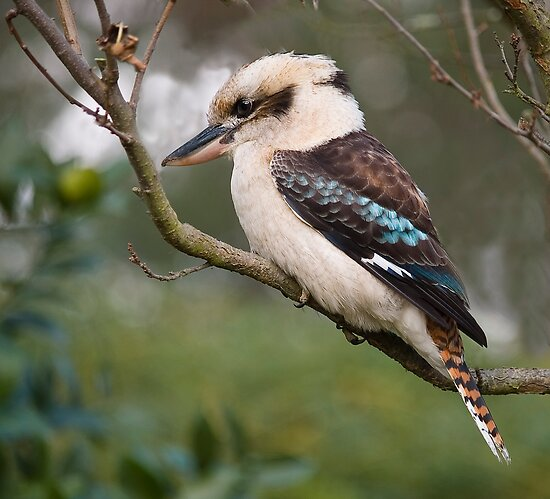 Kookaburra#1 by johnrf