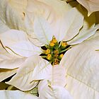 Poinsettia - Closeup by ctheworld