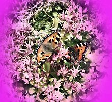 Butterflies on Sedum by hilarydougill