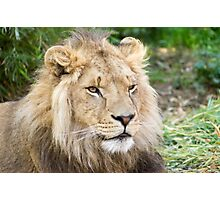 122014 lion Photographic Print