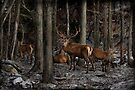 Elk in the Forest by Michael Cummings