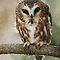 Northern Saw-whet Owl by Raymond J Barlow
