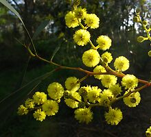 golden wattle by jayview