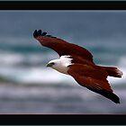 Brahminy Kite by Norman Winkworth