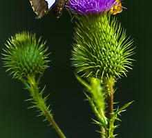 Butterfly on a Purple Wildflower by BLaskowsky