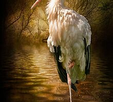 European Stork by Tarrby