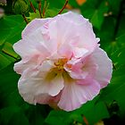 The Beautiful Rose of Sharon by Sue  Fellows